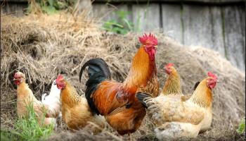 Mesures contre l'Influenza Aviaire Hautement Pathogène